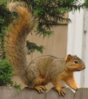 North American Fox Squirrel